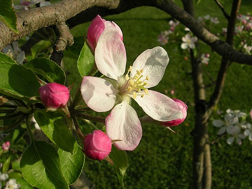 Photo of an apple blossom flower in bloom.