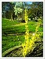 April Forsitia Freiburg Botanischer Garten - Master Botany Photography 2013 - panoramio (1).jpg
