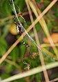 Araña Tigre - Wasp Spider - Argiope bruenichii - Poliandria - polyandry 02 (5203760548).jpg