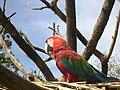 Ara chloropterus -Canaima National Park, Venezuela-6.jpg