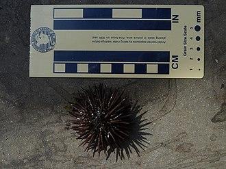 Arbacia punctulata - Image: Arbacia punctulata 1