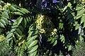 Arboretum-Aubonne 19 Ailanthus altissima.jpg