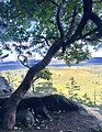 Arbutus Tree at John Dean Provincial Park.jpg