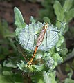 Arctotis fastuosa 2015-06-20 3342.jpg