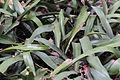 Aregelia spectabilis - South China Botanical Garden 2013.11.02 11-25-21.jpg