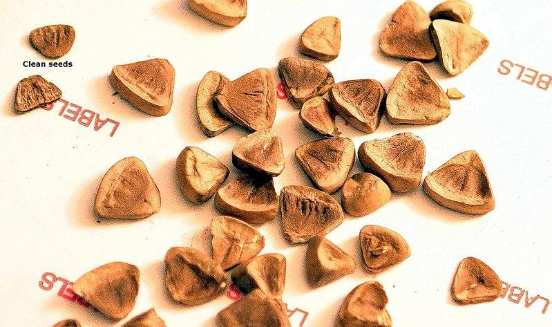 File:Aristolochia clematitis.jpg