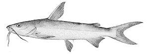 Hardhead catfish - Image: Arius felis
