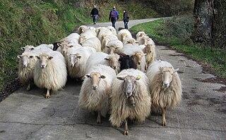 Latxa Breed of sheep