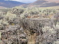 Artemisia tridentata wyomingensis (4349904051).jpg