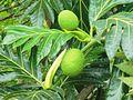 Artocarpus altilis (Moraceae).jpg