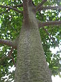 Artocarpus nitidus subsp. lingnanensis.jpg