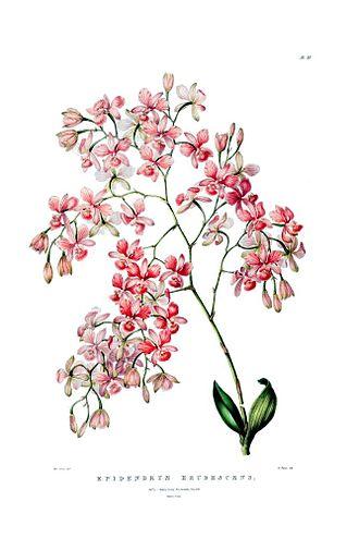 "Artorima - 1843 illustration from Bateman: ""Orchidaceae of Mexico and Guatemala"""
