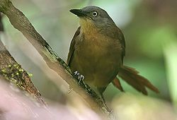 Ashy-headed Laughingthrush (Garrulax cinereifrons).jpg