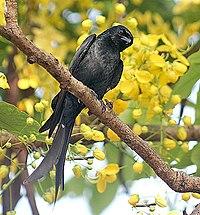 Ashy Drongo I- Kolkata IMG 2252.jpg