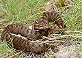 Asp Viper (Vipera aspis) female (found by Jean NICOLAS) (35656389766).jpg