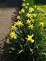 Asparagales - Narcissus pseudonarcissus - 3.jpg