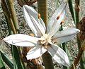 Asphodelus albus flower.jpg