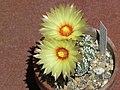 Astrophytum asterias cv. superkabuto 45.jpg
