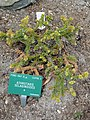 Athrotaxis selaginoides - Copenhagen Botanical Garden - DSC07343.JPG