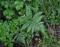 Athyrium spinulosum 98731200.jpg