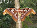 Attacus atlas - Atlas moth at Peravoor 2017 (29).jpg