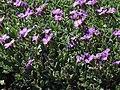 Aubrieta libanotica a1.jpg