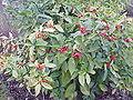 Aucuba japonica0.jpg