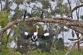 Australian Pelican ( coming in guys ) - Flickr - friendsintheair.jpg