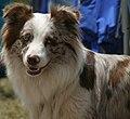 Australian Shepherd Dog (head).jpg