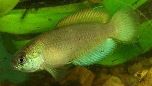 Aplocheilidae - Austrolebias quirogai