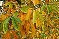 Autumn Chestnut Leaves - geograph.org.uk - 584787.jpg