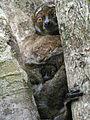 Avahi laniger, Andasibe, Madagascar.jpg