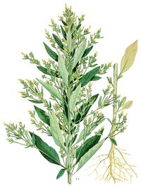 Axyris amaranthoides - Norman Criddle 1906.png