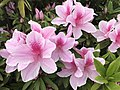 Azalea flowers 20190413.jpg