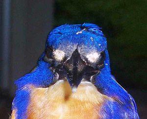 Azure kingfisher - Azure kingfisher showing large white eye-like lores