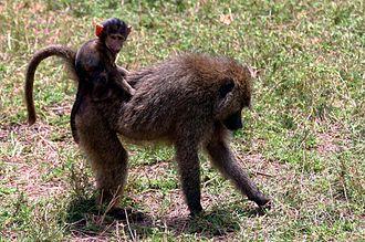 Olive baboon - With baby, Lake Manyara National Park, Tanzania
