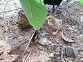 Baby chicken.jpg