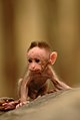 Baby macaque DSC 8412.jpg