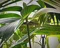 Bananaquit. Coereba flaveola - Flickr - gailhampshire (1).jpg
