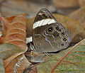 Banded Treebrown, Lethe confusa at Samsing, Duars, West Bengal W IMG 6146.jpg