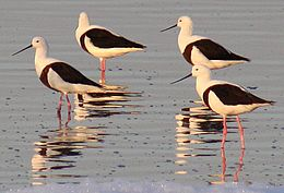 Banded stilts 2 Governors Lake Rotto email.jpg