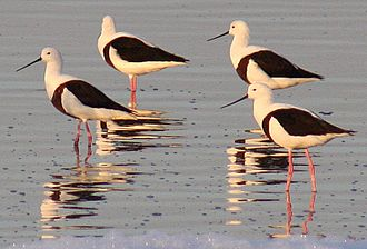 Recurvirostridae - Image: Banded stilts 2 Governors Lake Rotto email