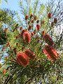 Banksia occidentalis (8044466335).jpg
