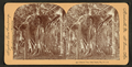 Banyan tree, Palm Beach, Florida, from Robert N. Dennis collection of stereoscopic views.png