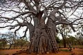Baobab Tree, Messina District 03.JPG