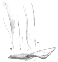 B. pinnata