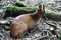 Barking deer, Deer, Himalayan Zoological Park, Darjeeling (8087399631).jpg