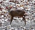 Barking deer Corbett TR.jpg