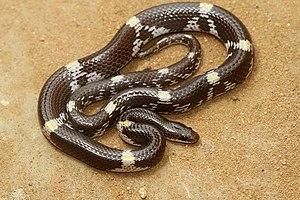 Lycodon striatus - Lycodon striatus