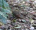 Bassian Thrush. Zoothera lunulata (15803906985).jpg